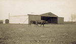 Cows in front of the hangar